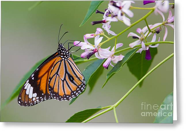 Common Tiger Butterfly Greeting Cards - Oriental Striped Tiger, India Greeting Card by B. G. Thomson