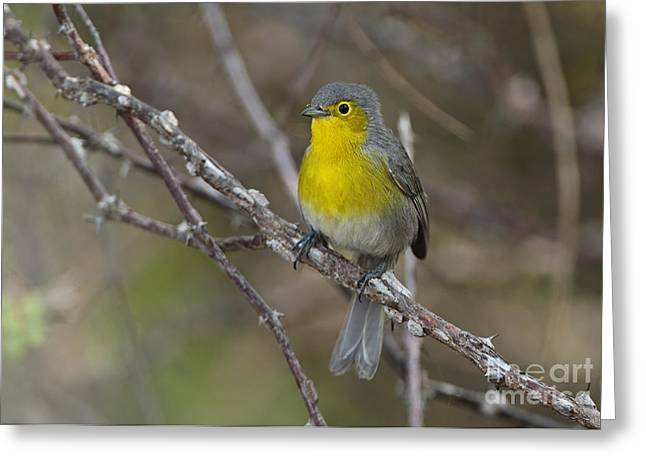 Greater Antilles Greeting Cards - Oriente Warbler Greeting Card by Neil Bowman/FLPA