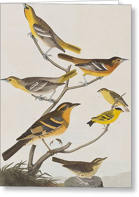 Finch Greeting Cards - Orioles Thrushes and Goldfinches Greeting Card by John James Audubon