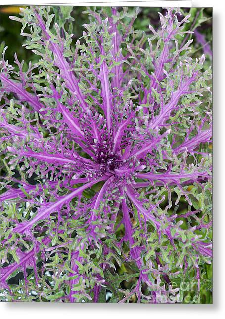 Ornamental Plants Greeting Cards - Ornamental Kale Red Peacock Greeting Card by Tim Gainey