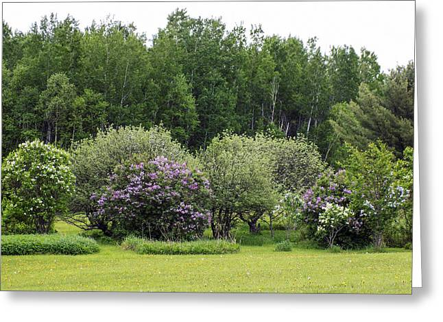 Maine Spring Greeting Cards - Ornamental Shrub Collection Greeting Card by William Tasker