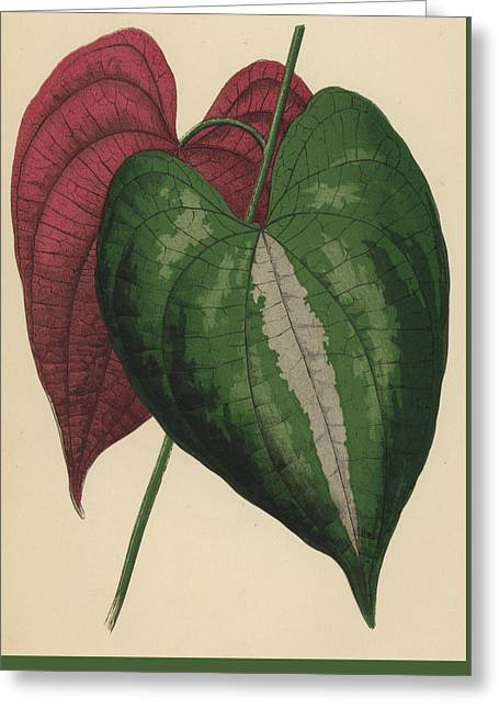 Ornamental Yam  Dioscorea Discolor Greeting Card by English School