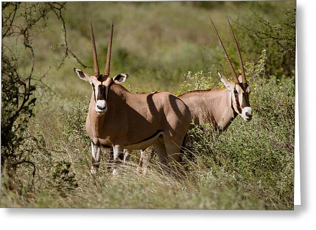 Bush Wildlife Greeting Cards - Oryx in Samburu  Greeting Card by Joseph G Holland