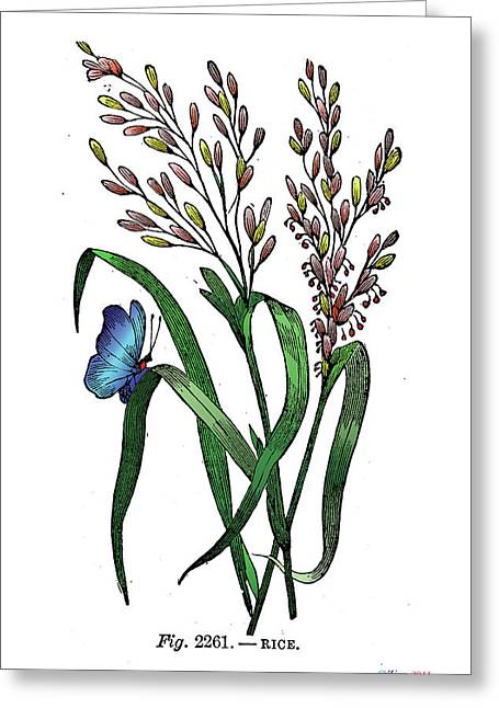 Phantasmagorical Greeting Cards - Oryza sativa Greeting Card by Ziva