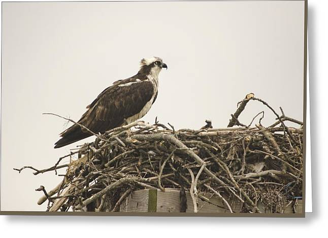 Sea Platform Greeting Cards - Osprey 1 Greeting Card by Marianne Campolongo