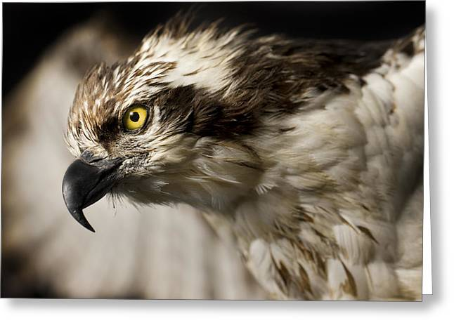 Avian Greeting Cards - Osprey Greeting Card by Adam Romanowicz