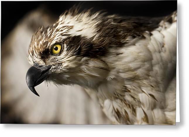 Osprey Greeting Card by Adam Romanowicz