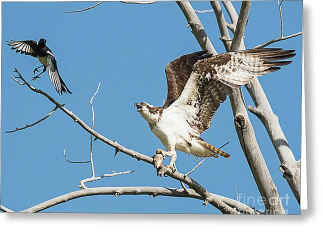 Osprey And Black Billed Magpie Greeting Card by Dennis Hammer
