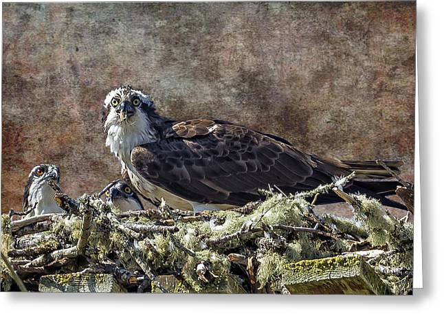 Sea Animals Greeting Cards - Osprey and Young - Feeding Greeting Card by Belinda Greb
