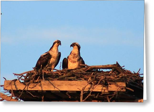 Reverence Greeting Cards - Osprey at Home Greeting Card by Karen Silvestri