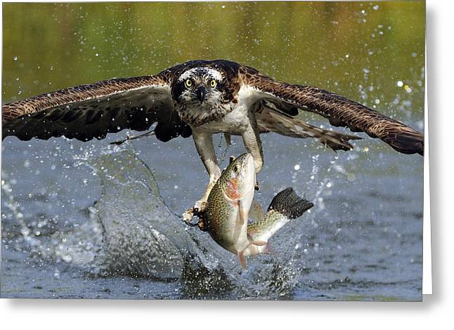 Water Photographs Greeting Cards - Osprey Catching Trout Greeting Card by Scott  Linstead