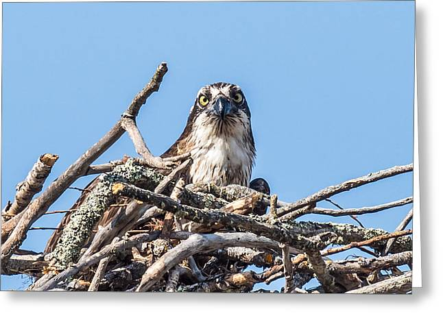 Decorate Greeting Cards - Osprey Eyes Greeting Card by Paul Freidlund