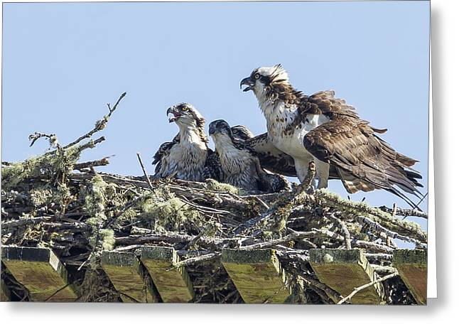 Sea Platform Greeting Cards - Osprey Family Portrait No. 2 Greeting Card by Belinda Greb