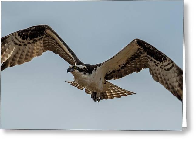 Osprey Flying Greeting Card by Paul Freidlund