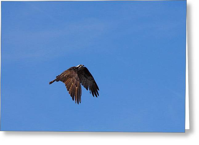 Sea Birds Greeting Cards - Osprey In Flight 2 Greeting Card by Aaron Rushin