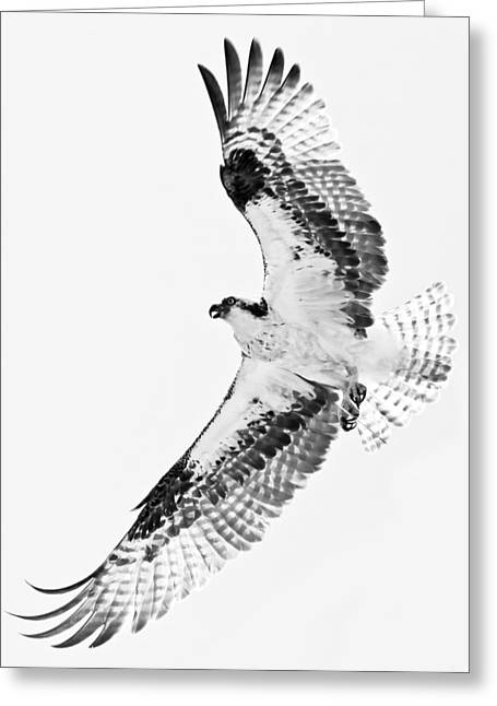 Soaring Falcon Greeting Cards - Osprey In Flight II Greeting Card by Athena Mckinzie