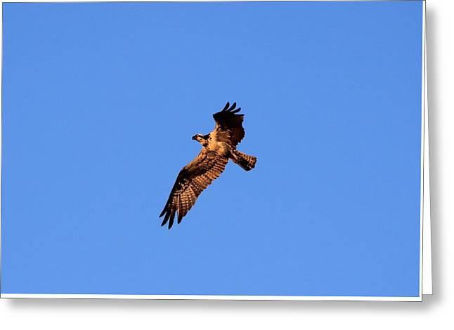 Seabirds Greeting Cards - Osprey in Flight Greeting Card by Karen Silvestri