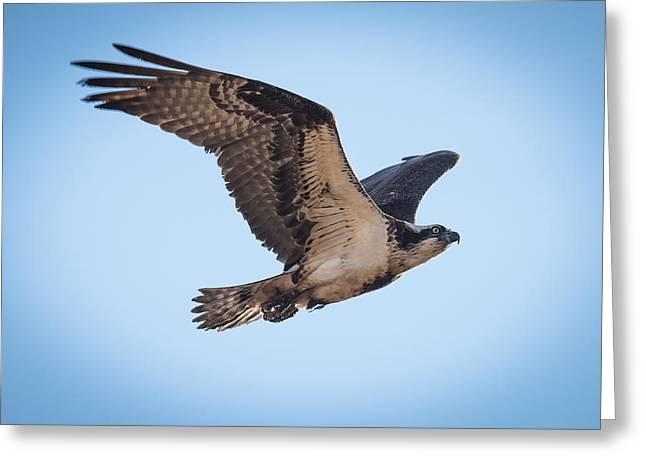 Osprey Photographs Greeting Cards - Osprey In Flight Greeting Card by Paul Freidlund