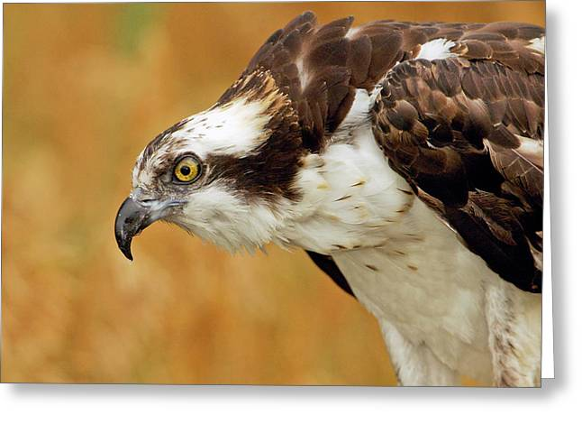 Alaska Greeting Cards Greeting Cards - Osprey Greeting Card by James Steele