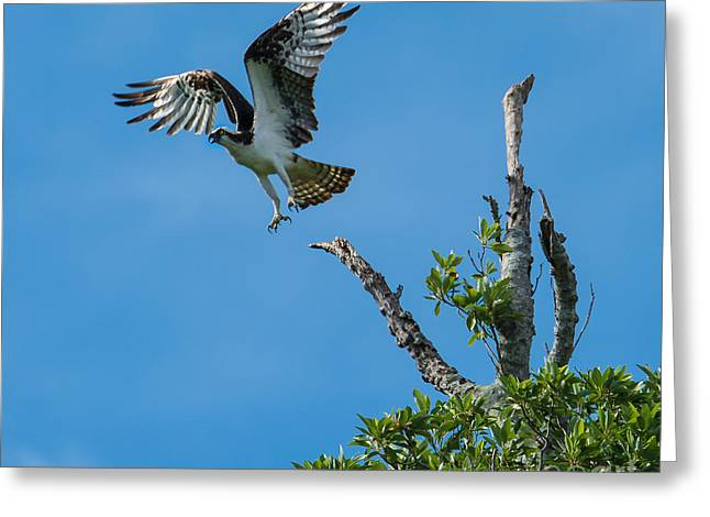 Eagle Tapestries - Textiles Greeting Cards - Osprey Launch Greeting Card by James Hennis