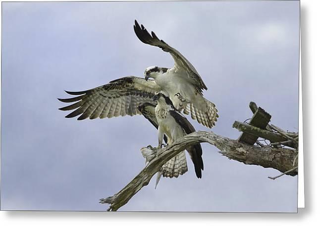 Cedar Key Greeting Cards - Osprey Mating Pair Greeting Card by Kim Davidson