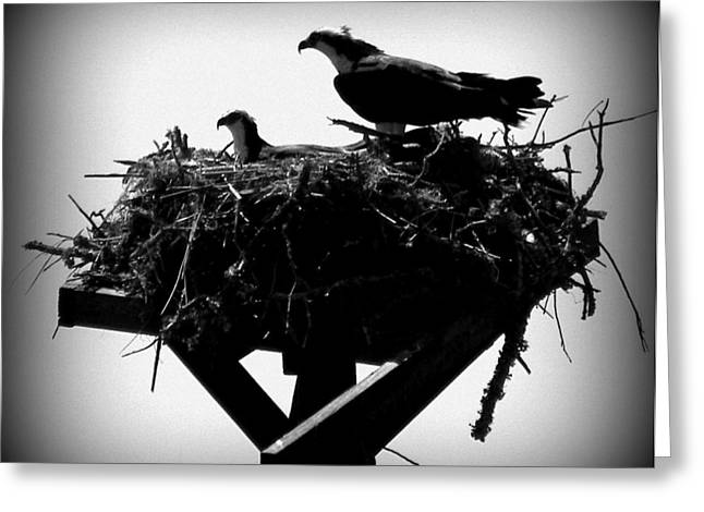 Cedar Key Greeting Cards - Osprey Nesting I Greeting Card by Sheri McLeroy