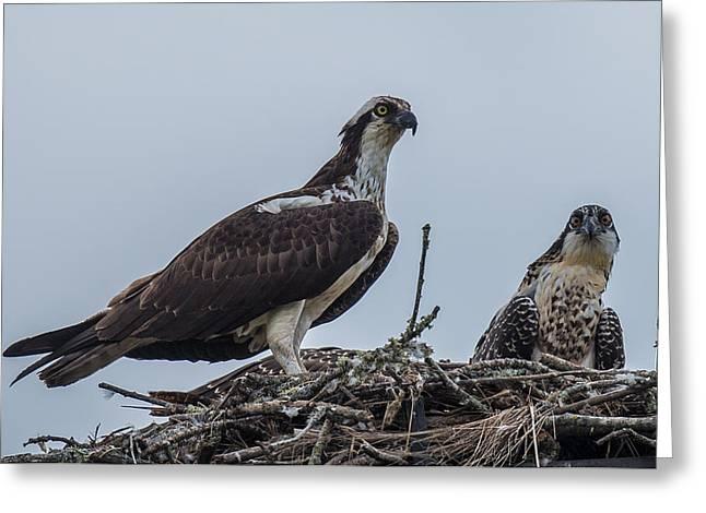Osprey On A Nest Greeting Card by Paul Freidlund