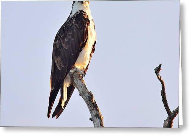 The Trees Greeting Cards - Osprey Out of the Blue  Greeting Card by Patricia Twardzik