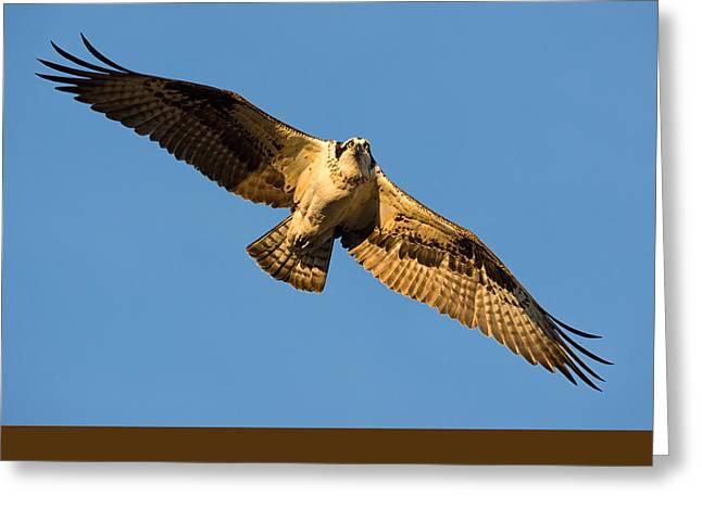 Flying Animal Greeting Cards - Good Morning Osprey Greeting Card by Scott Warner
