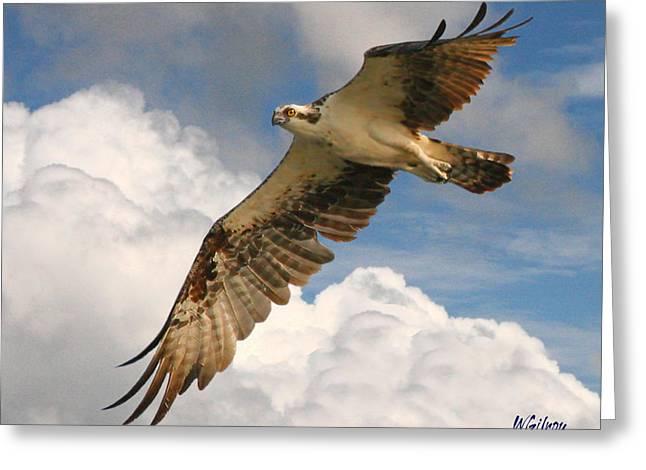 Melbourne Beach Greeting Cards - Osprey / Sea Hawk Greeting Card by W Gilroy