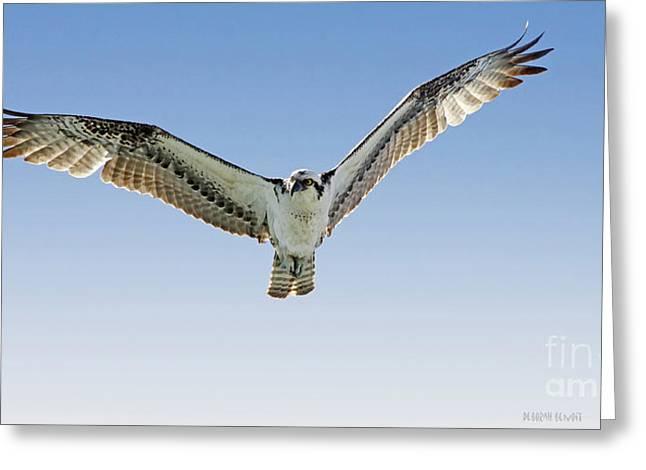 Osprey Florida Greeting Cards - Osprey Soar Search Greeting Card by Deborah Benoit