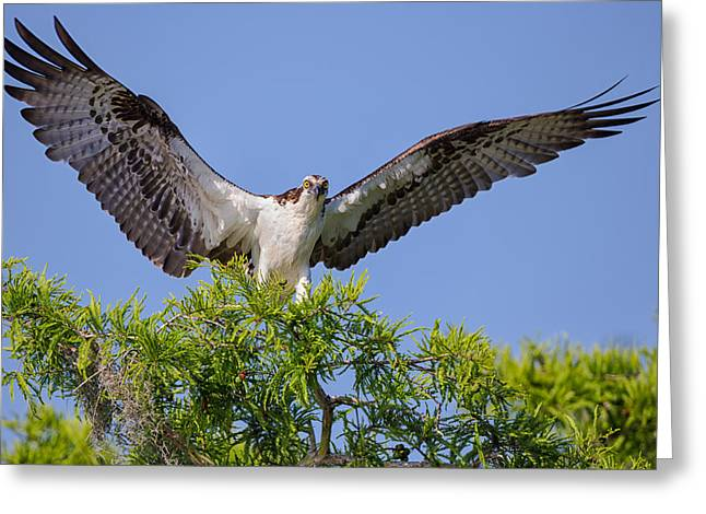 Hunter Greeting Cards - Osprey with Wide-Open Wings Greeting Card by Andres Leon