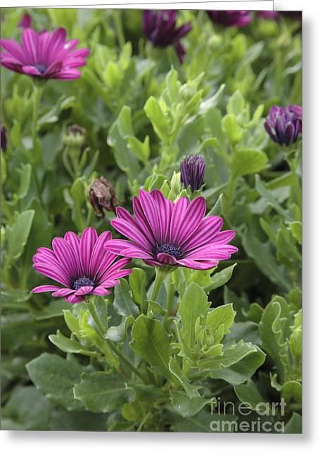 Prescott Greeting Cards - Osteospermum flowers Greeting Card by Erin Paul Donovan