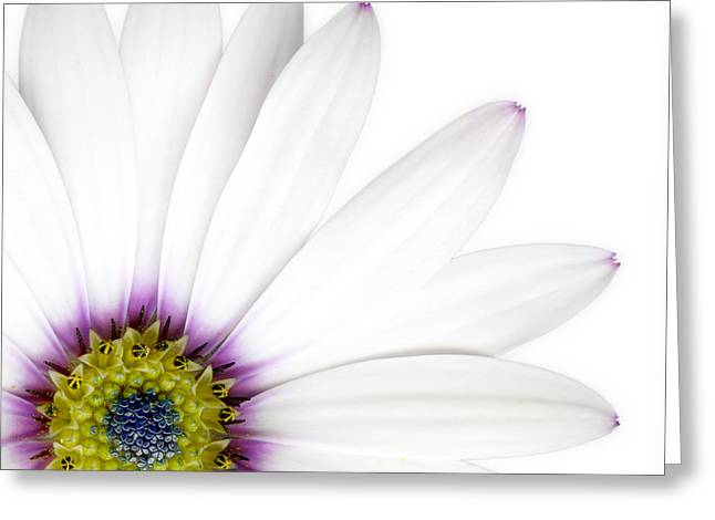 Flowers Photographs Greeting Cards - Osteospernum Greeting Card by Janet Burdon