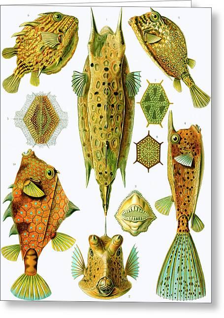 Ernst Haeckel Greeting Cards - Ostraciontes Boxfish Greeting Card by Ernst Haeckel