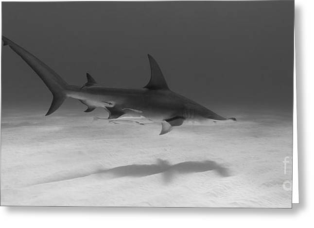 Underwater Photos Greeting Cards - Out for a Cruise Greeting Card by Thomas Major
