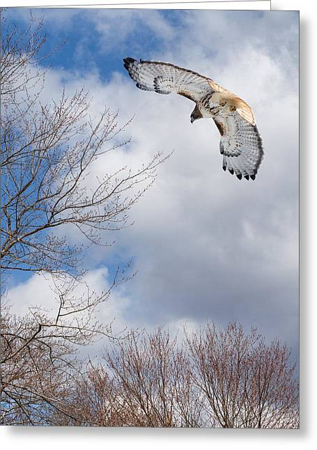 Redtailed Hawks Greeting Cards - Out of the blue Greeting Card by Bill  Wakeley