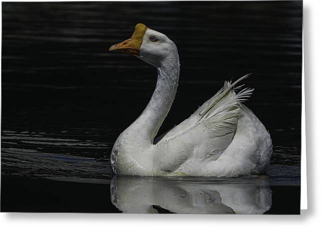 Swans... Greeting Cards - Out of the Shadows Greeting Card by George Davidson