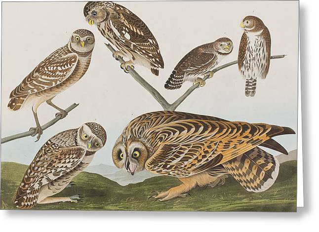 Flocks Of Birds Drawings Greeting Cards - Owls Greeting Card by John James Audubon
