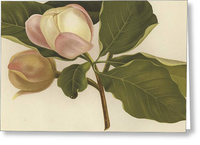 Soft Drawings Greeting Cards - Oyama Magnolia Greeting Card by English School