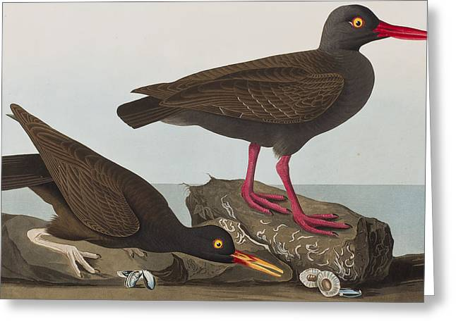 Breeds Greeting Cards - Oyster Catchers Greeting Card by John James Audubon