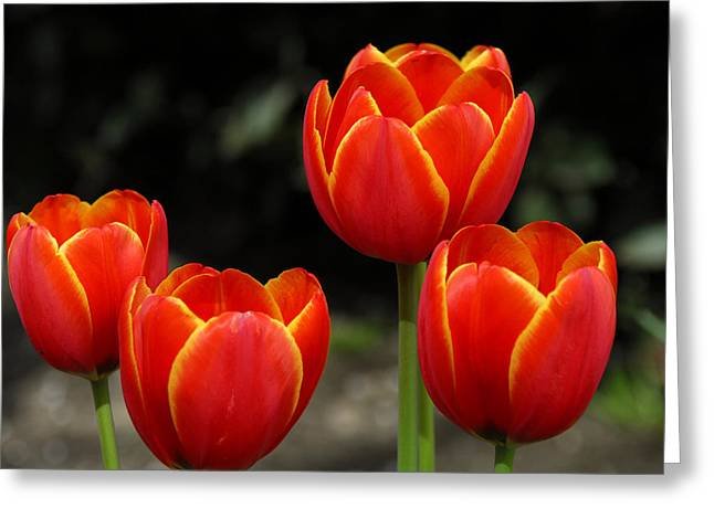 Tulip Greeting Cards - Pacific Northwest Tulips 5 Greeting Card by Keith Gondron