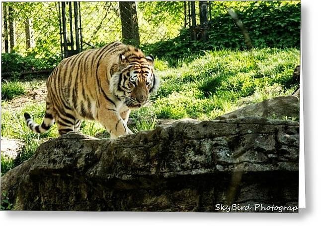 Pittsburgh Zoo Greeting Cards - Pacing Greeting Card by Megan Miller