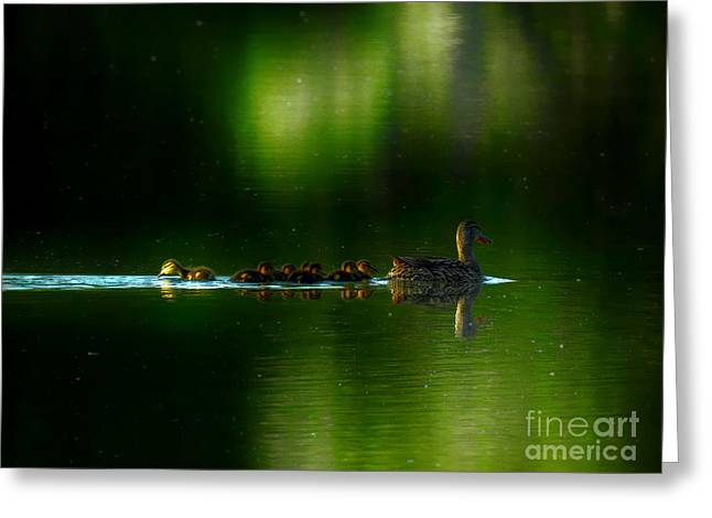 Baby Mallards Digital Art Greeting Cards - Paddling to a different beat. Greeting Card by Bryan Atneosen