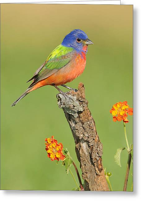 Painted Bunting Greeting Card by Scott  Linstead