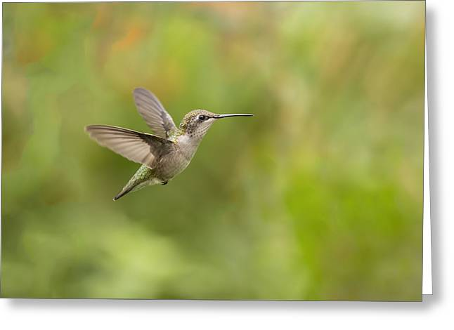 Hovering Greeting Cards - Painted Humming Bird Greeting Card by Thomas Young