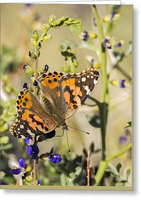 Painted Lady In The Desert Greeting Card by Loree Johnson