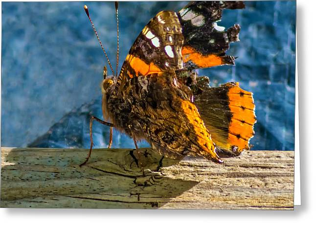 Biology Greeting Cards - Painted Lady Greeting Card by Steve Harrington