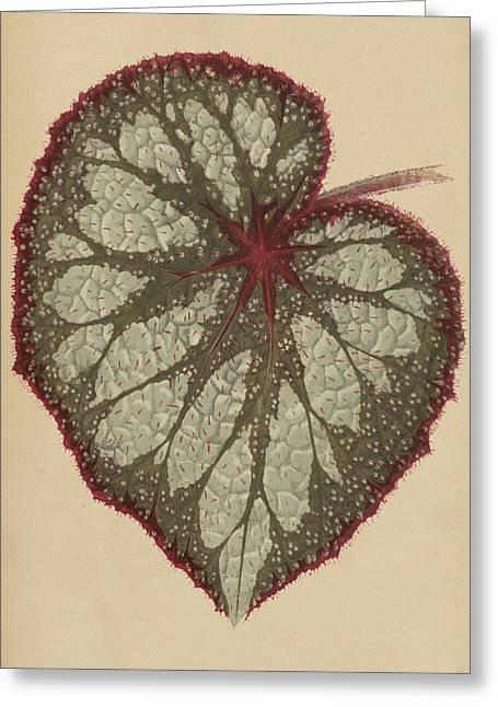 Painted Leaf Begonia Greeting Card by English School