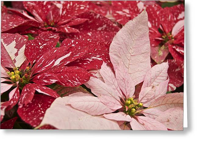 Noche Greeting Cards - Painted Poinsettias Greeting Card by Michael Peychich